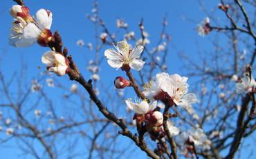 Marillenblüte in der Wachau (1/2)