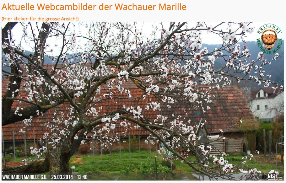 Marillenblüte in der Wachau (2/2)